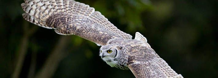 Great horned owl during a flying demonstration