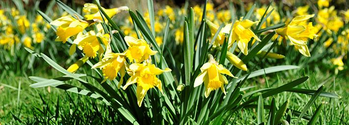Farndale daffodils by Catriona McLees
