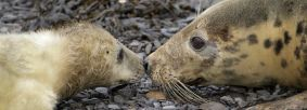 Grey seal and pup Credit Steve Race Yorkshire Coast Nature
