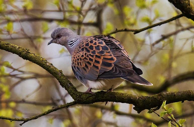 Turtle dove Credit Chris Downes