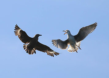 Great skua fighting a great black-backed gull credit Richard Baines