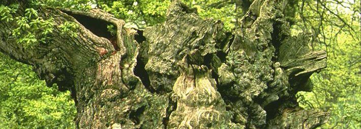 Oak at Duncombe Park