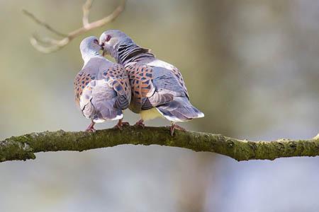 Turtle Doves by Richard Bennett