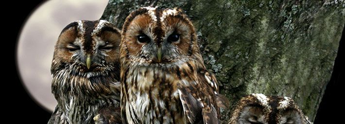 Tawny owls in tree