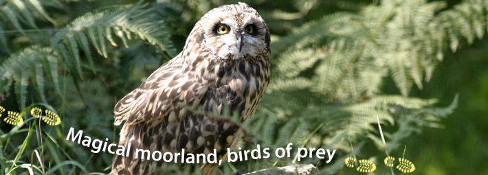 Howdale Moor and Brow Moor photo Short-eared owl