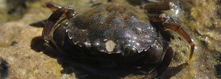Shore crab by North East Wildlife