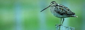 Snipe on fence post