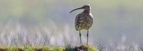 Curlew by Paul Harris