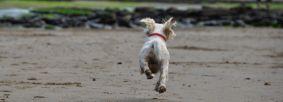 Dog running on Robin Hood's Bay beach