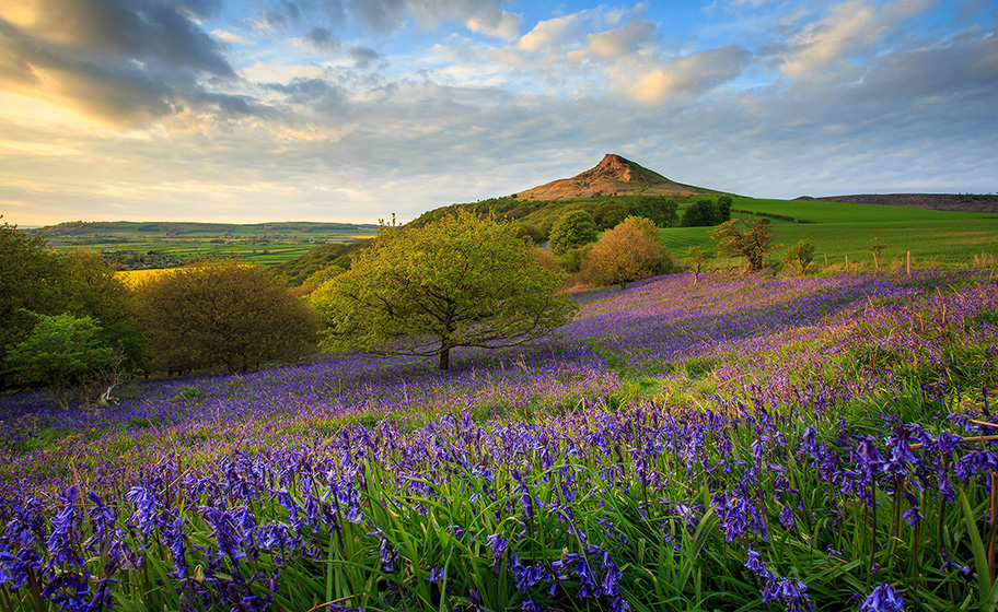Rosberry Topping Bluebells by Ebor Images web