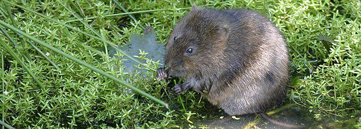 Water vole Credit WildStock Images