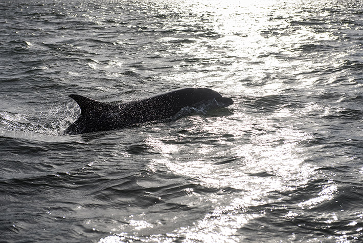 Dolphin off Staithes Credit Daniel Wildey Photograph