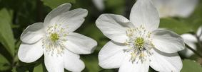 Wood anemone close up of flowers