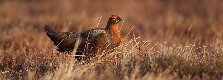 Red grouse by Shockthesenses