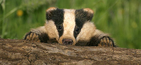 Badger peeping over log