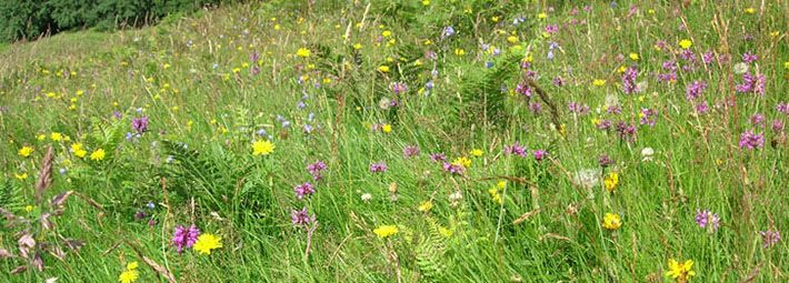 Species rich grassland Staindale