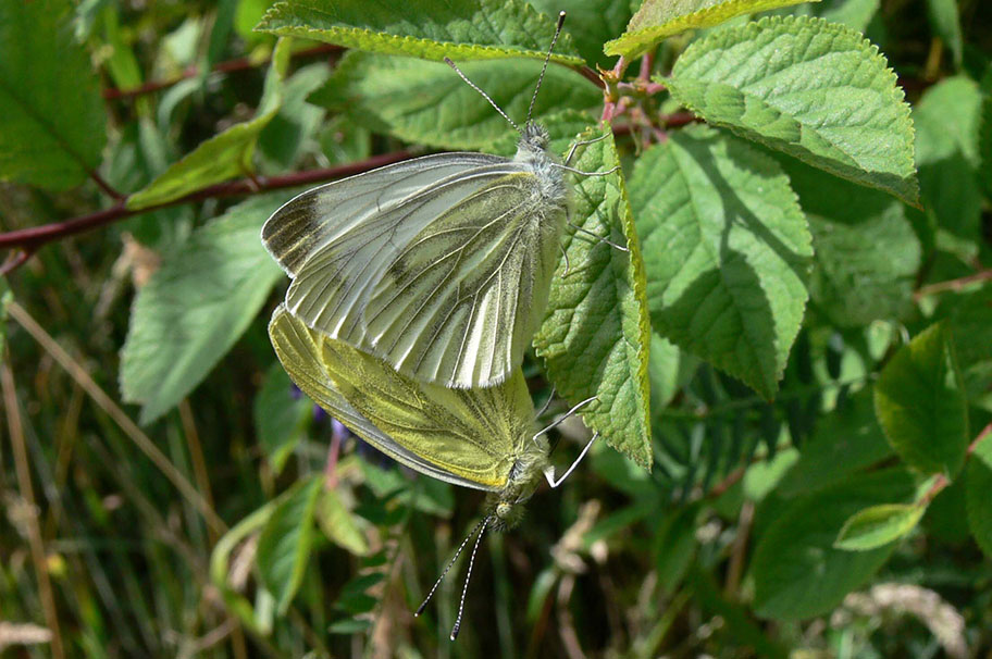Green-veined white Credit Richard Baines