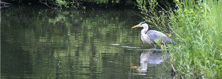 Heron in edge of river