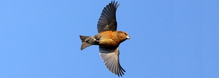Crossbill by Dan Lombard Yorkshire Coast Nature