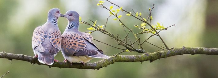 Turtle doves by Richard Bennet