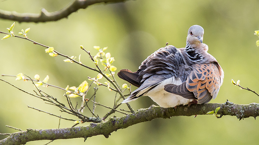 Turtle dove Credit Ricahrd Bennett