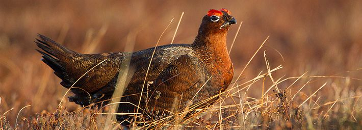 Grouse by Mike Nicholas