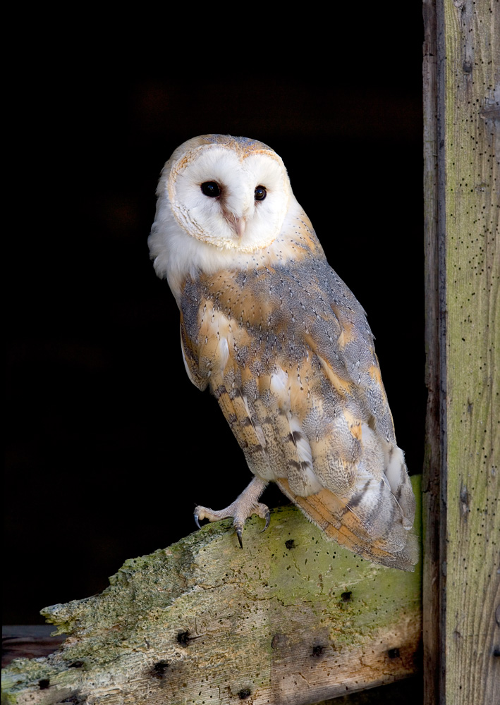 Barn Owl by National Centre for Birds of Prey