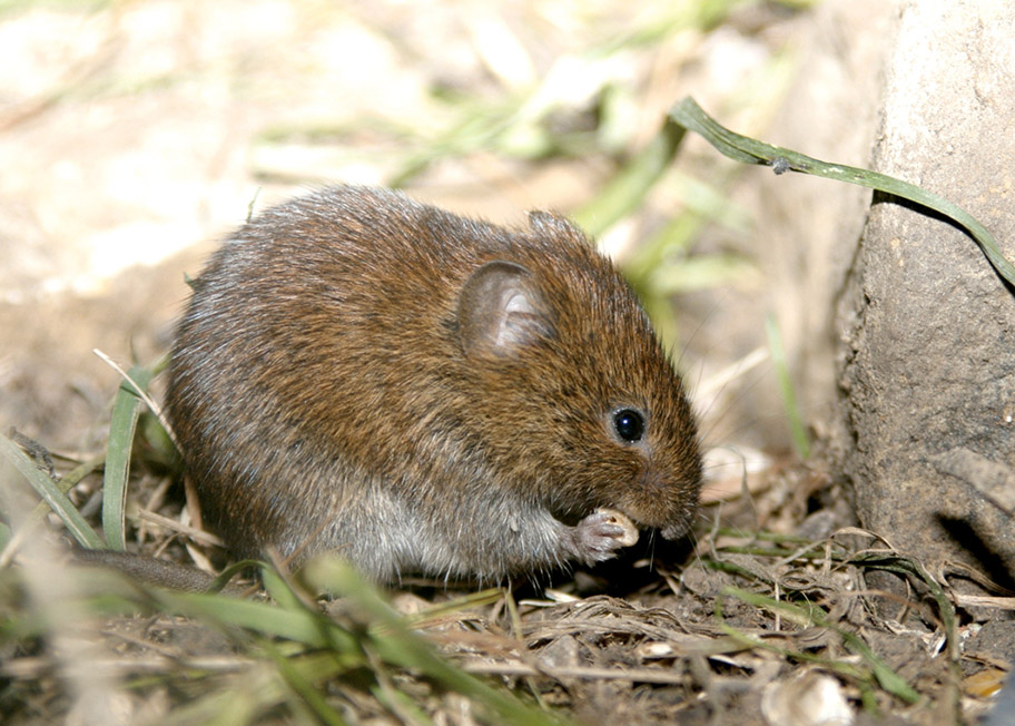 Spot a Bank vole on one of the National Trust's small mammal surveys