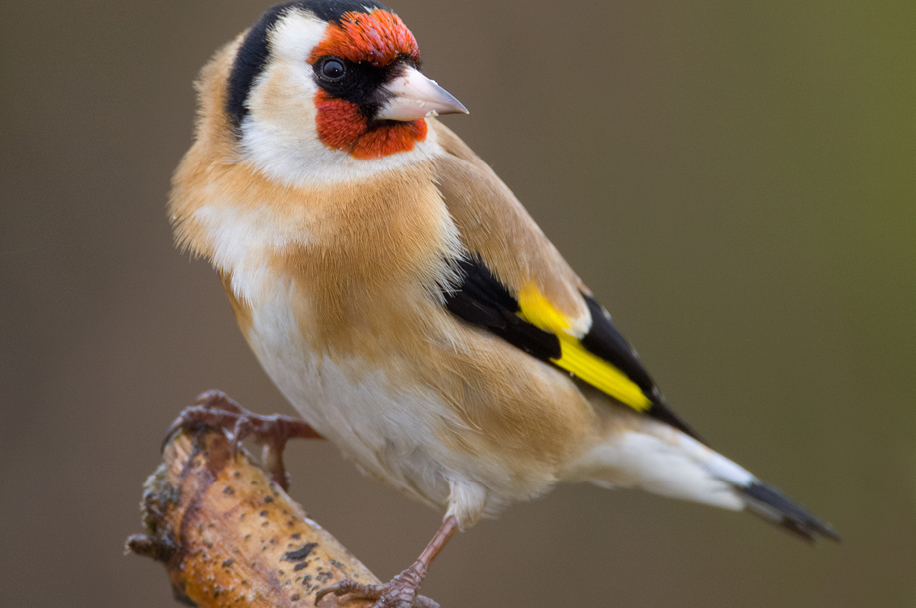 Goldfinch by Mike Nicholas