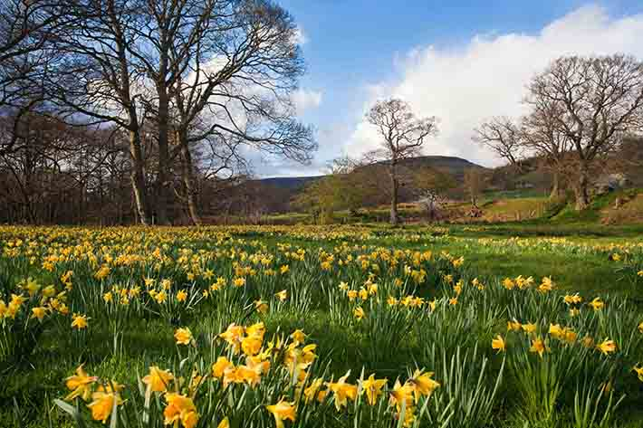 Farndale wild daffodils Credit Mike Nicholas