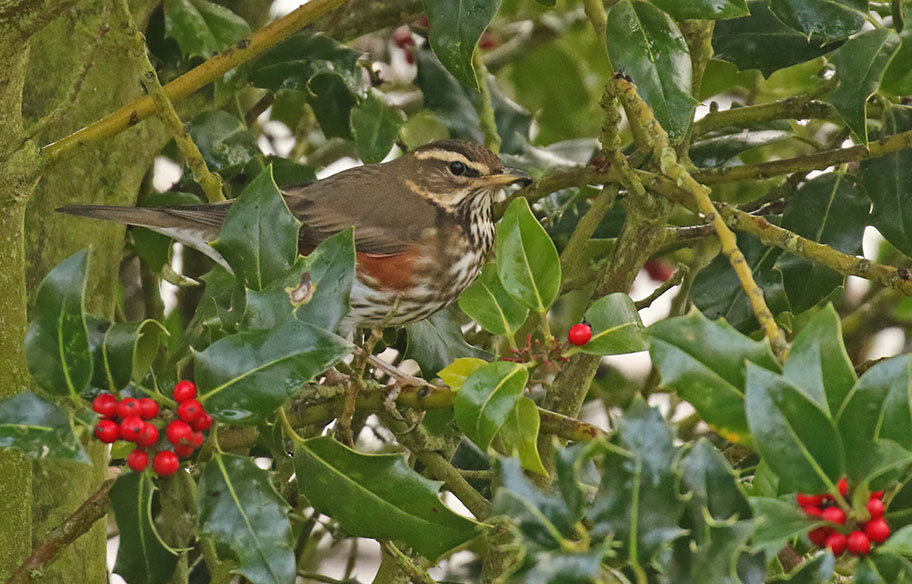 Redwing copyright Richard Baines