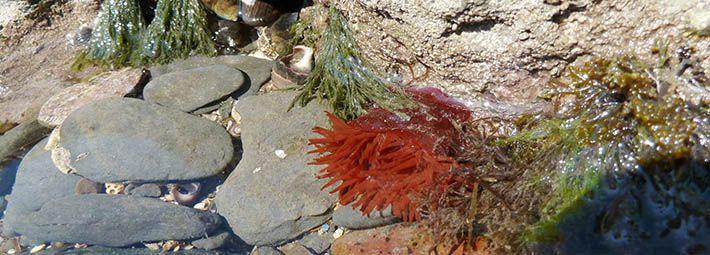 Beadlet anemone