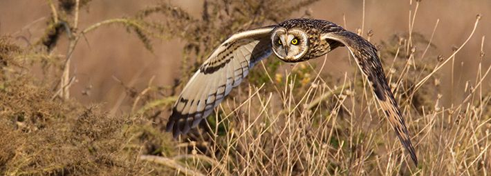 Short-eared owl by Mike Nicholas