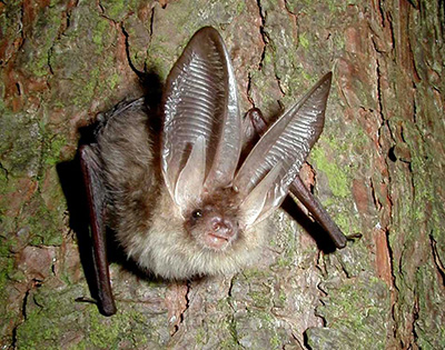 Bat Surveyor - Long-eared bat by John Altringham