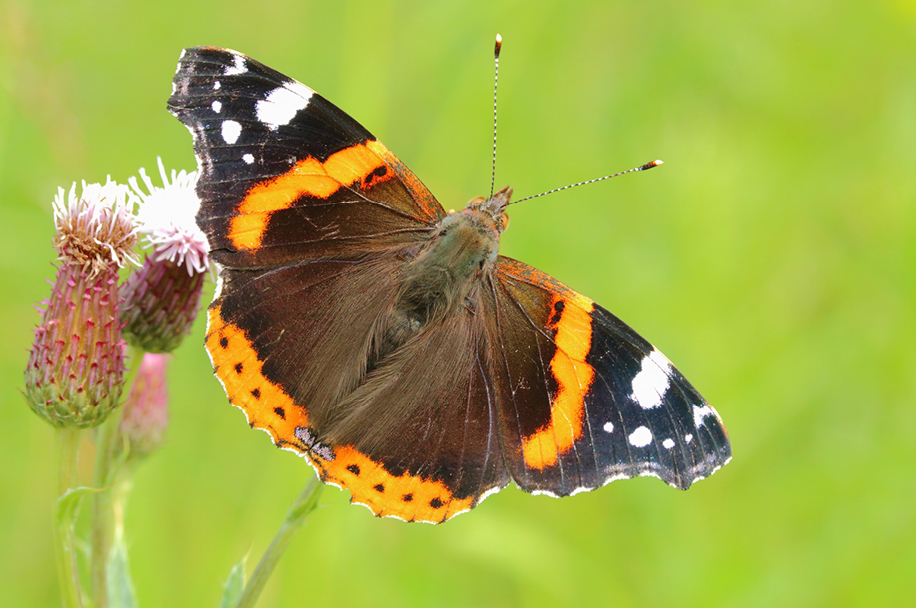 Red Admiral by Jonathan Green