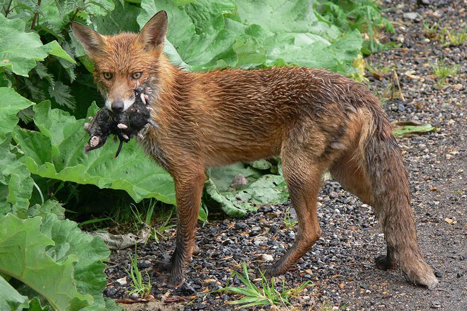 Red Fox copyright Richard Baines, Yorkshire Coast Nature