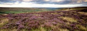 Rosedale heather by Chris Ceaser