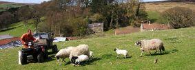 Farmer feeding sheep and lambs