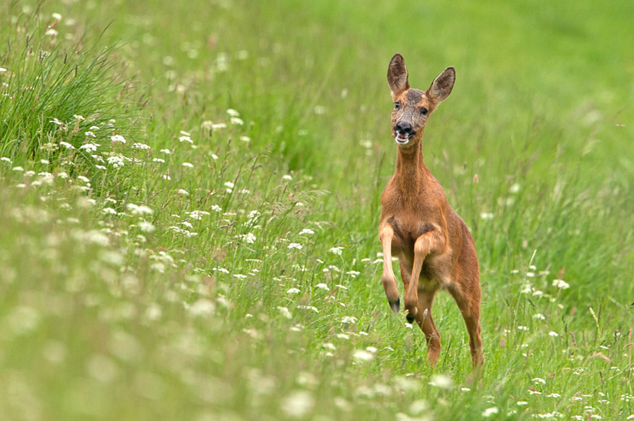 Roe Deer by Steve Race