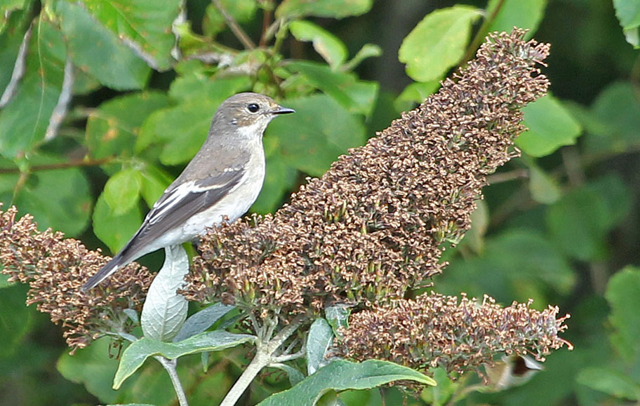 Pied Flycatcher copyright Richard Baines