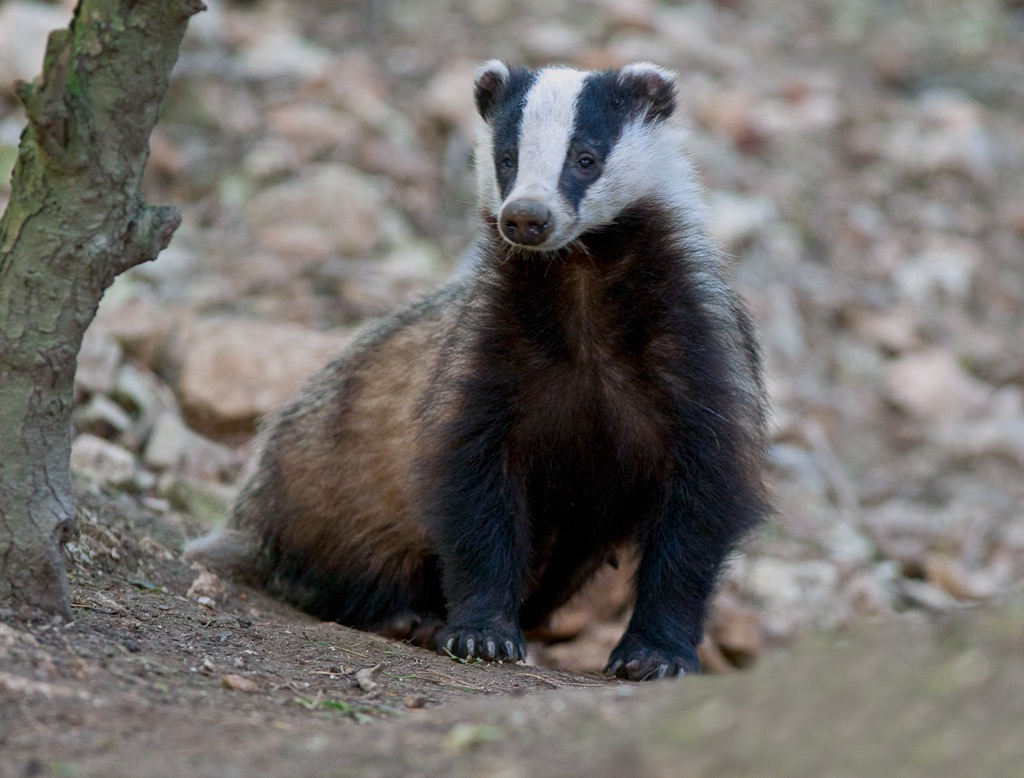 Badger by Steve Race, Yorkshire Coast Nature