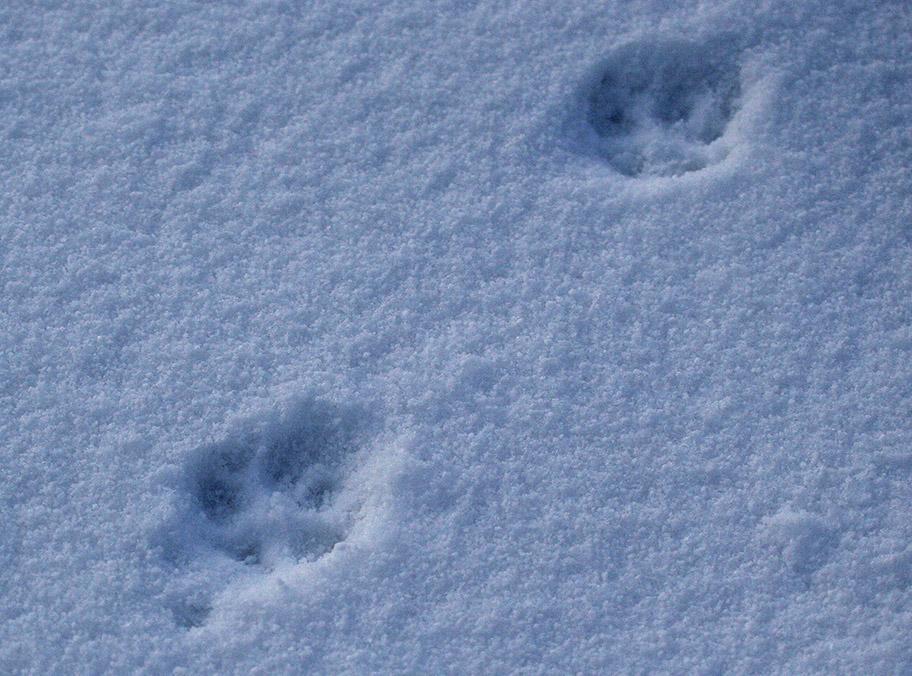 Red Fox footprints copyright Dan Lombard, Yorkshire Coast Nature