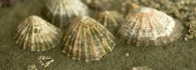 LImpet by northeastwildlife