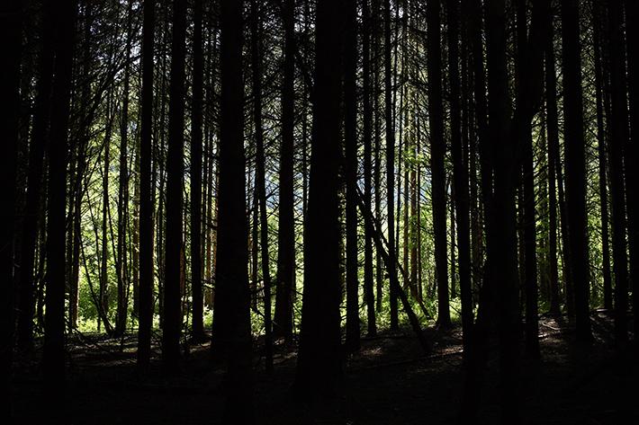 A dark conifer woodland