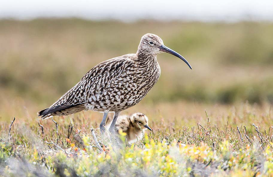 Me & Mum Curlews by Gordon Richardson, North York Moors Wildlife Photography Tours