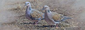 Saving Turtle Doves