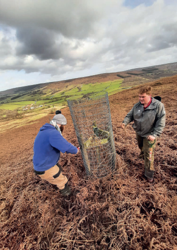 A failed sapling is replaced on Trennet Bank, Bilsdale