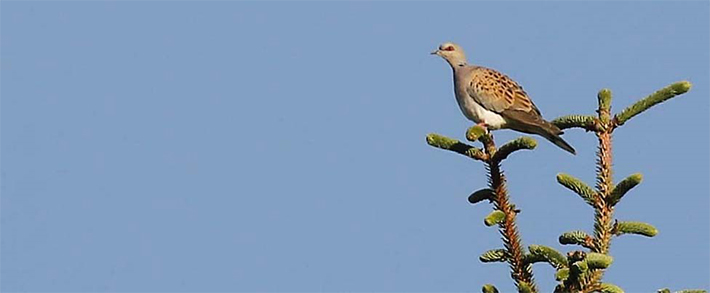 A male Turtle dove by Richard Baines