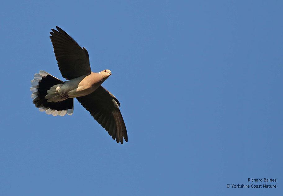 Turtle Dove credit Richard Baines