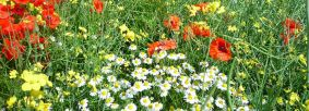 Cornfield flowers by Alex Cripps
